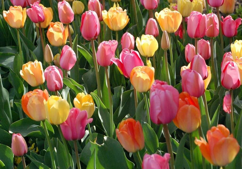 multi colored tulips