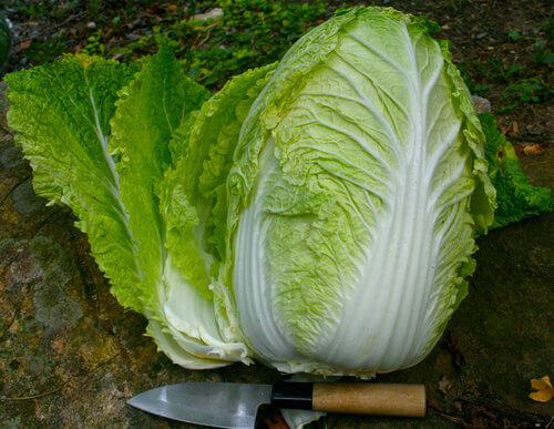 How to Grow Napa Cabbage