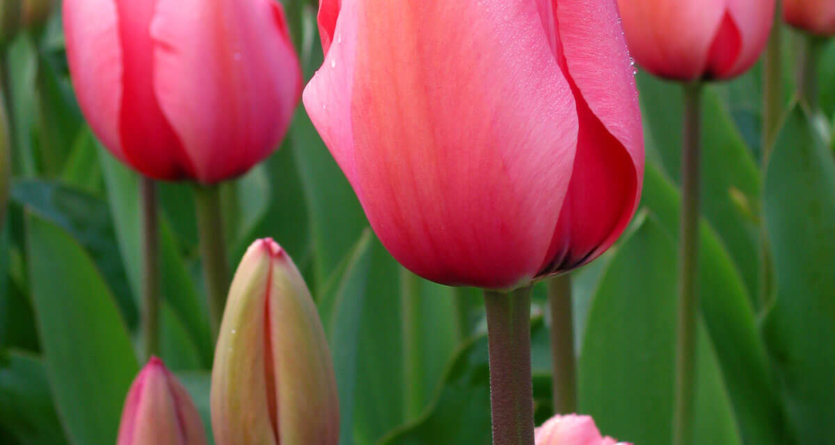 How to Grow Tulips From Bulbs