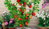 How to Grow Apple Trees in Pots