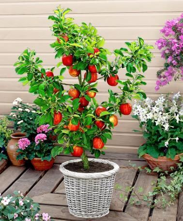 red apple tree in pot