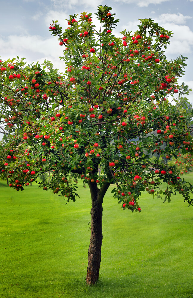 how to grow an apple tree plant instructions. Black Bedroom Furniture Sets. Home Design Ideas