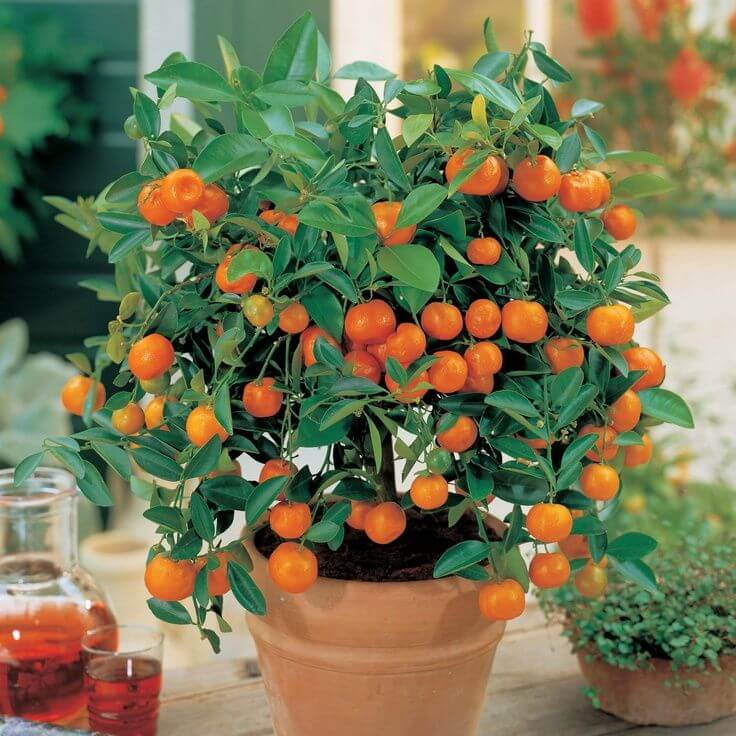 tangerines in pot