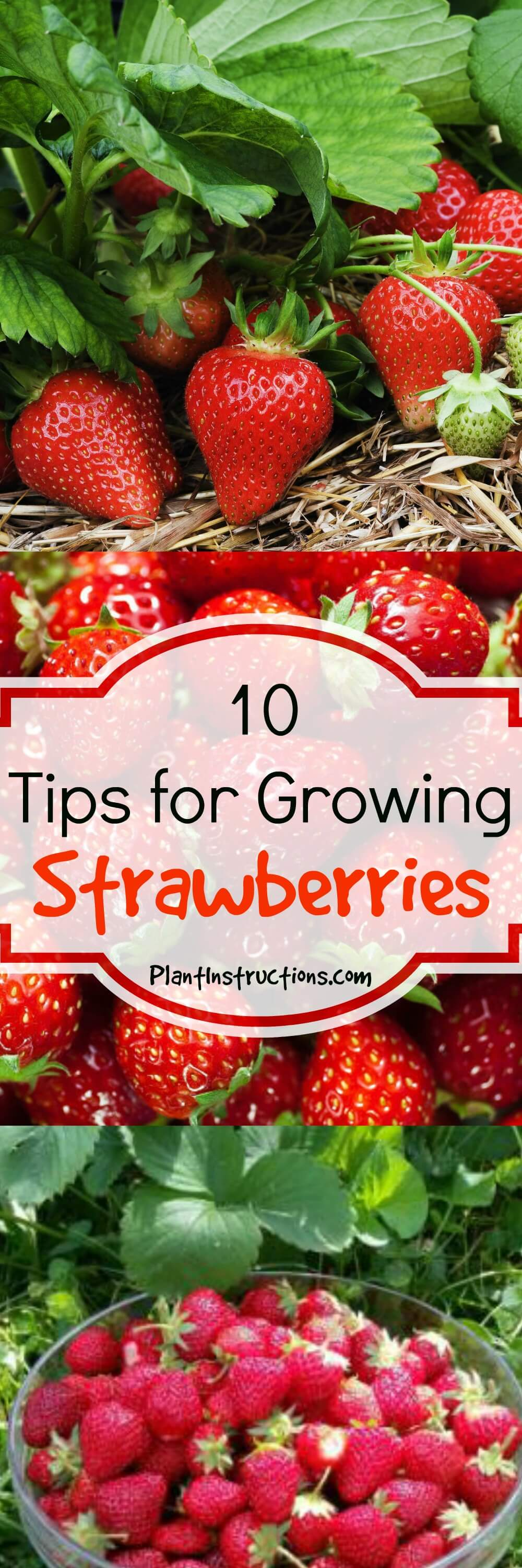 These 10 tips for growing strawberries will ensure you have a full strawberry bounty all summer long! Expert gardening tips for the BEST strawberries ever!