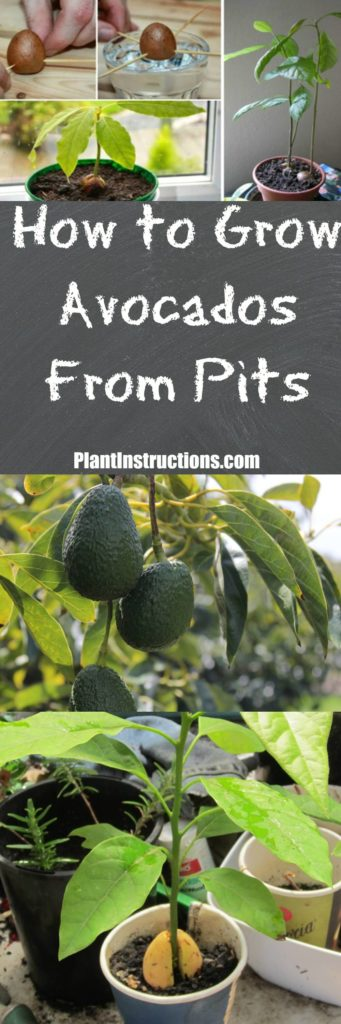 How to Grow Avocados From Pits