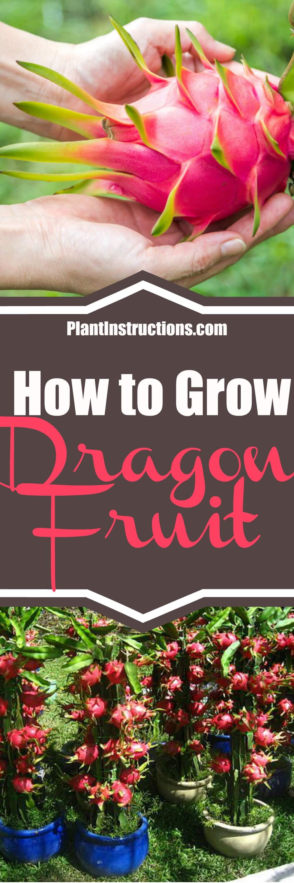 Learn how to grow dragon fruit with our gardening guide. Perfect for the garden or pots if you live in a cooler climate, this fruit is easy to grow!