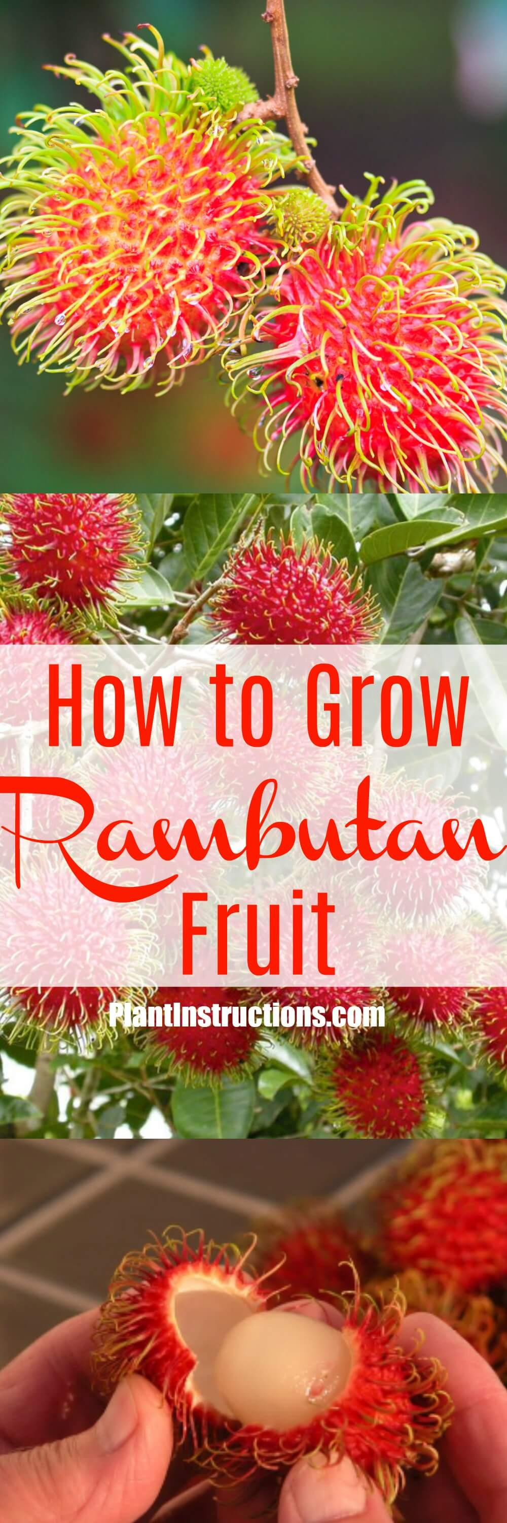 Learn how to plant, grow, and care for rambutan trees.