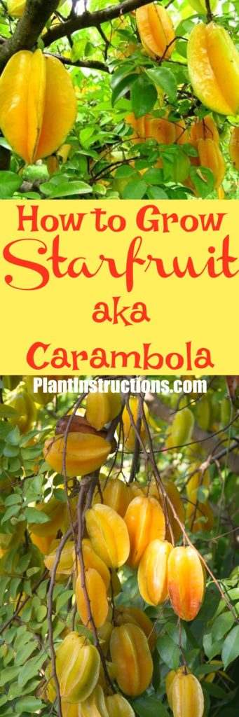 How to Grow Starfruit