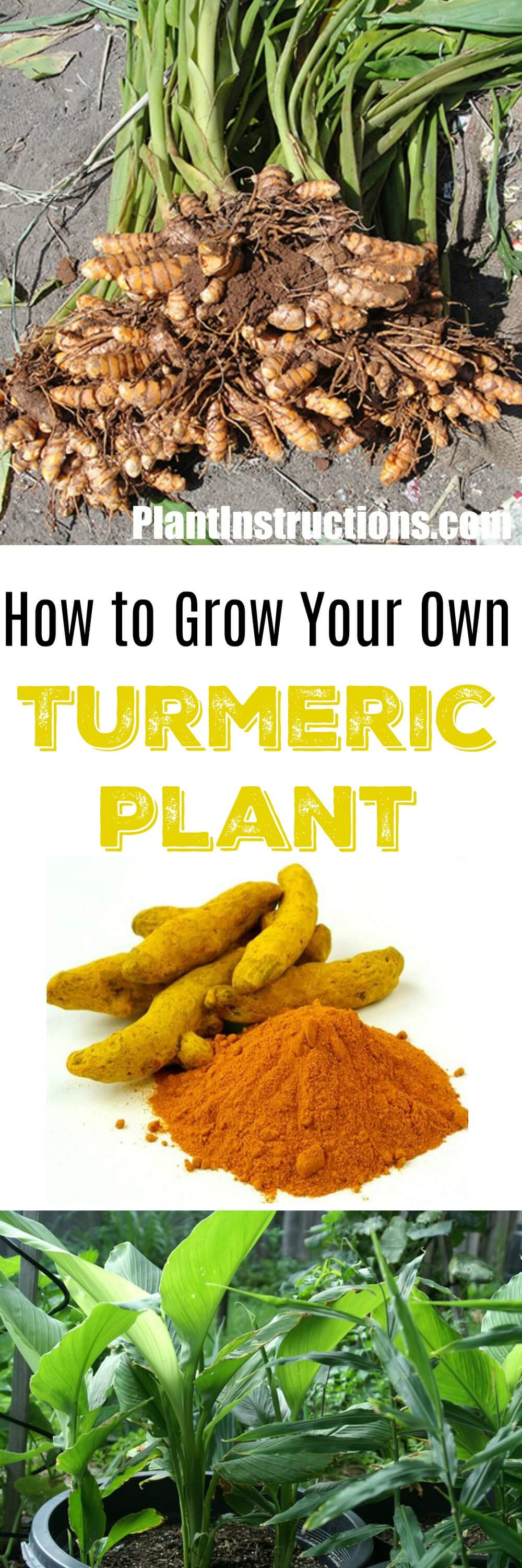 Did you know you can actually grow your own turmeric? Follow our easy gardening guide to learn how to grow turmeric in pots!