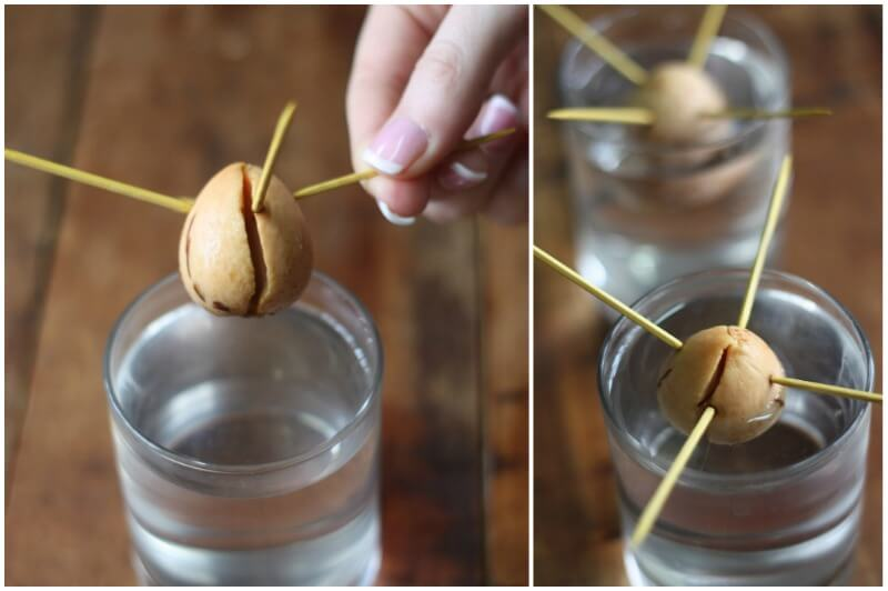How to grow avocado trees from pits plant instructions for How do you grow an avocado seed