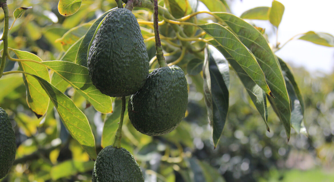 How to Grow Avocado Trees From Pits