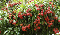 How to Grow Lychees