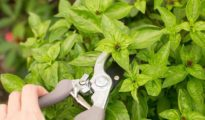 7 Tips for Growing Basil