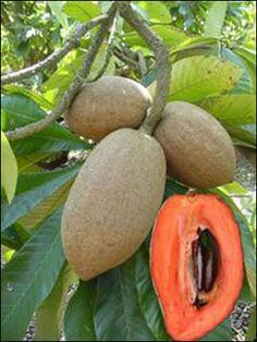 sapote fruit
