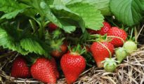 10 Tips for Growing Strawberries