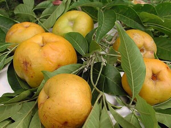 How to Grow Sapote From Seed