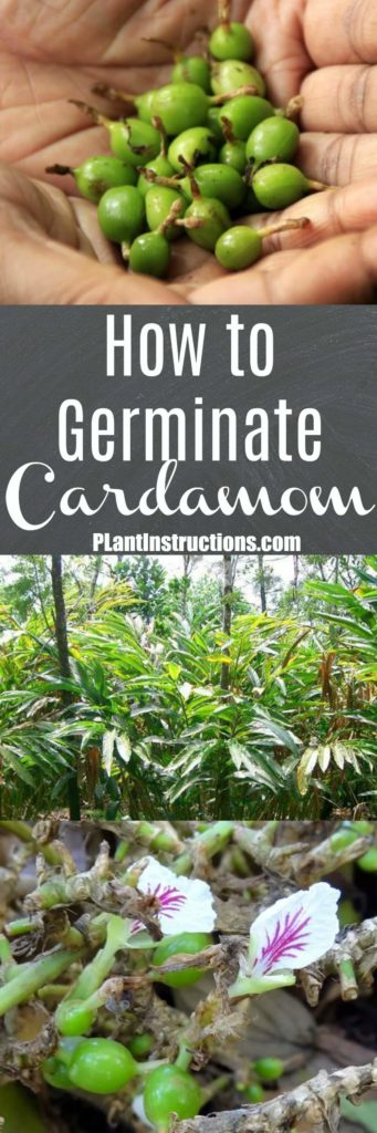 How to Germinate Cardamom