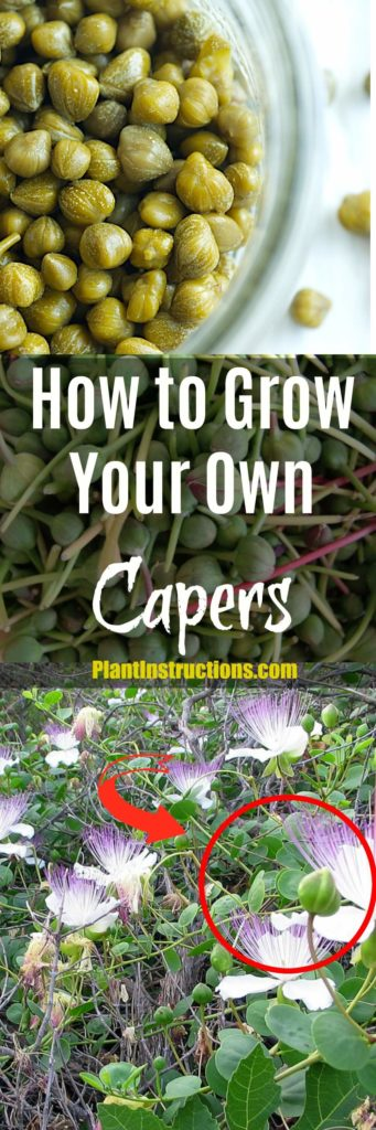 How to Grow Capers