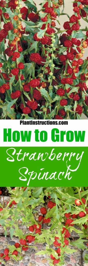 How to Grow Strawberry Spinach