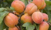 How to Grow Apricots From Pits
