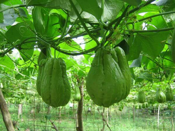 How to Grow The Chayote Plant