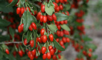 How to Grow Goji Berries in Pots