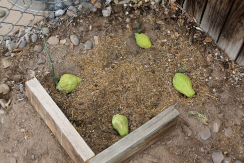 growing chayote