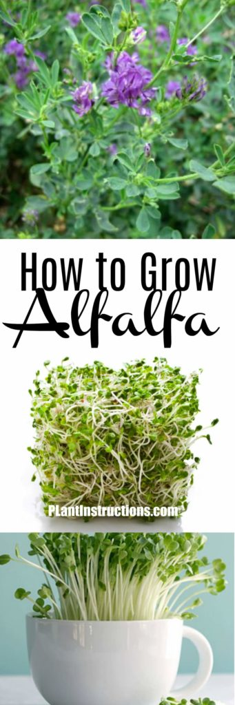 how to grow alfalfa
