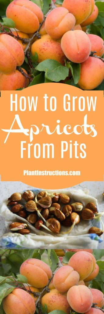 how to grow apricots