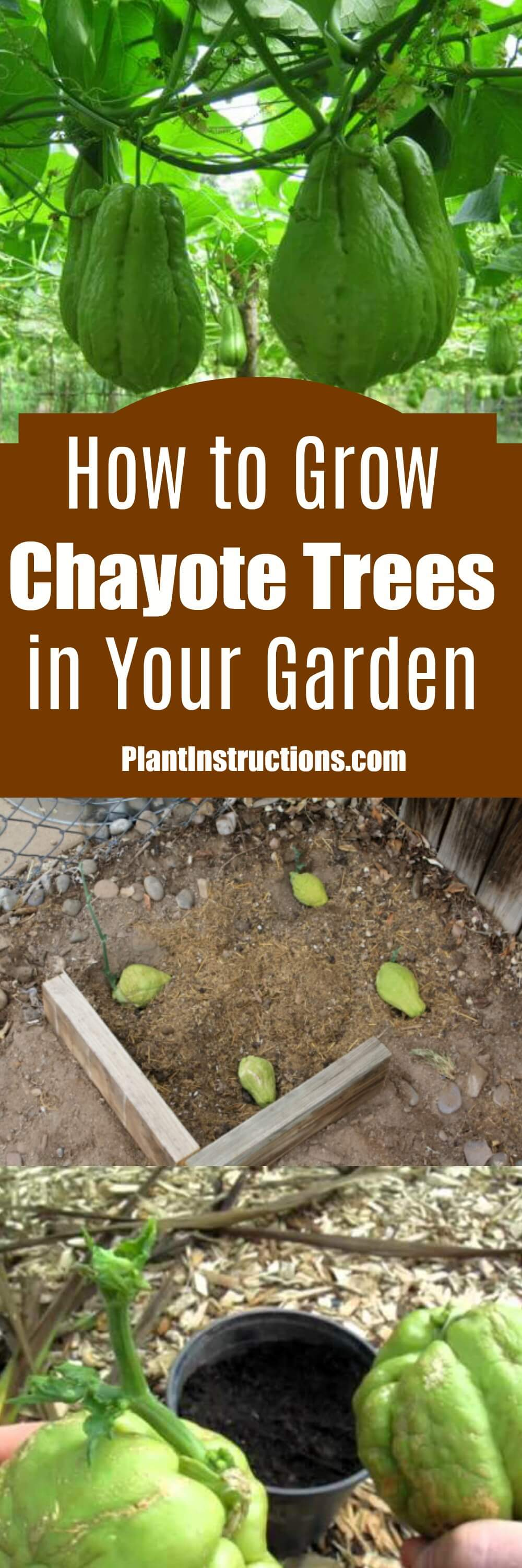Chayotes are native to Mexico and Guatemala, but you can actually grow them right in your garden! Learn more about how to grow chayotes!