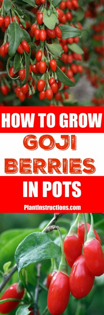 How To Grow Goji Berries In Pots Plant Instructions
