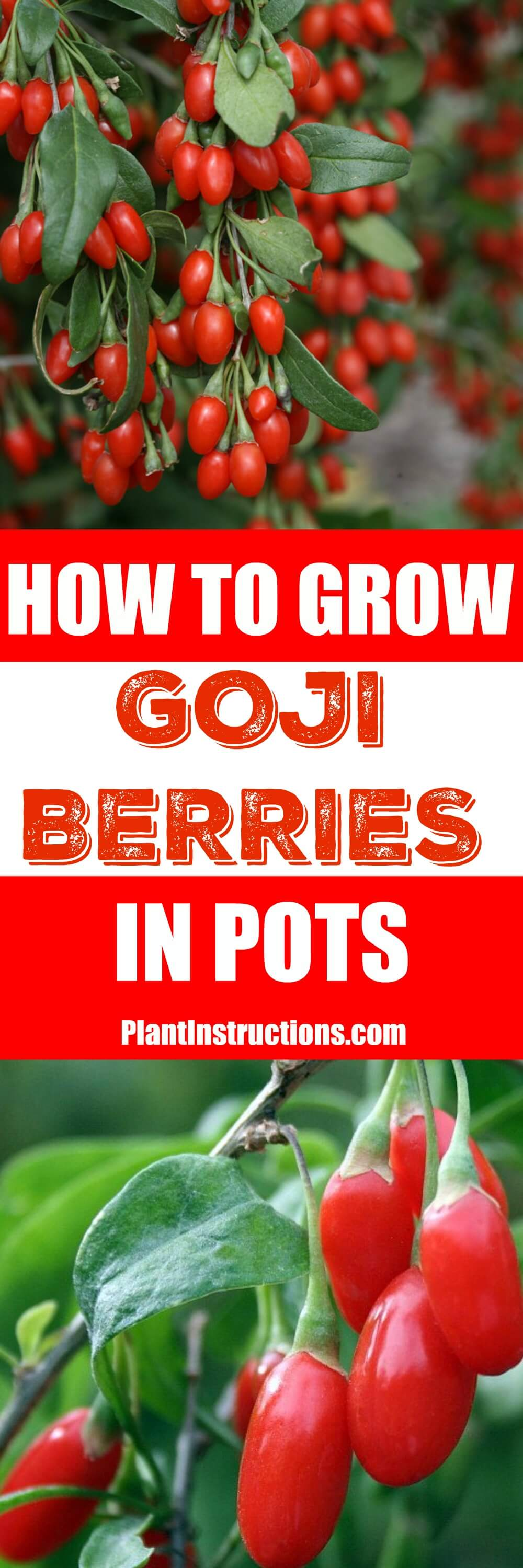 Goji berries are considered one of the best superfoods you can have, but they\'re hard to find, so learn how to grow goji berries and have them all the time!