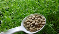 How to Grow Lentils