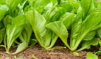 How to Grow Mustard Greens