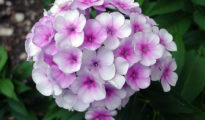 How to Grow Phlox Flowers