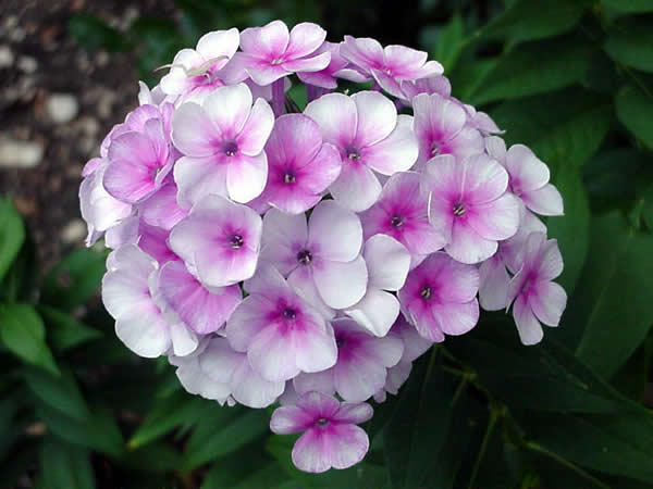 how to grow phlox seeds