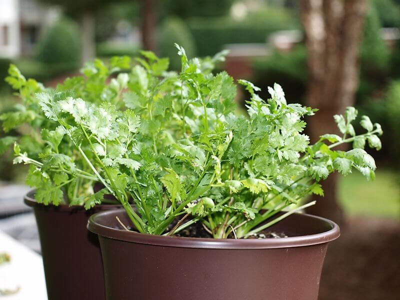 potted chervil