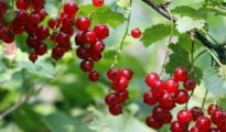 How to Grow Currants