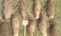 How to Grow Yams