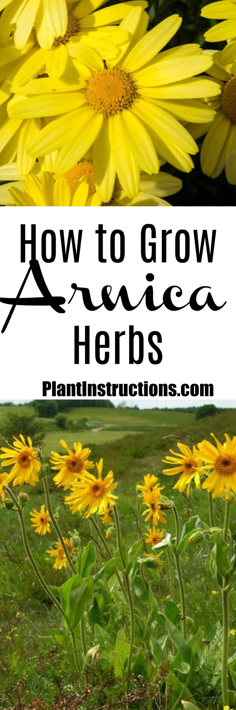 how to grow arnica herbs plant instructions. Black Bedroom Furniture Sets. Home Design Ideas