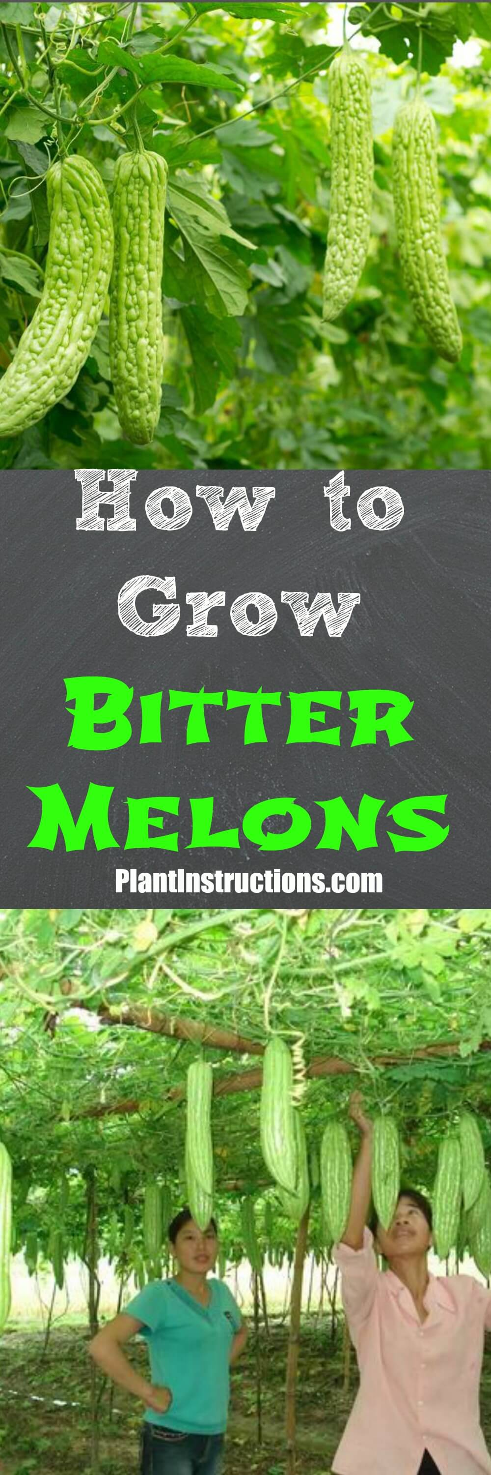 How To Grow It And How To Use It For: How To Grow Bitter Melon