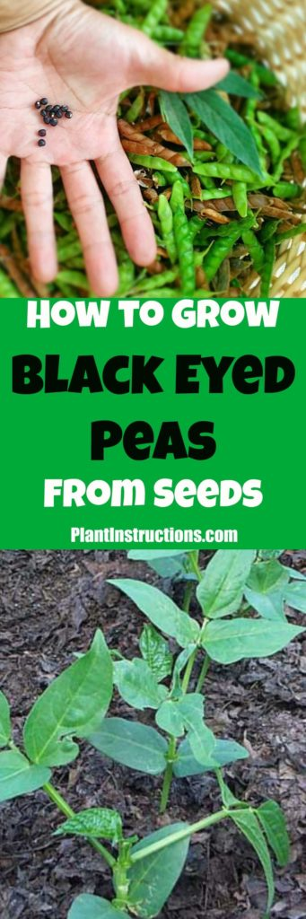 How to Grow Black Eyed Peas