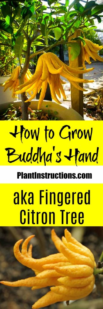 How to Grow Buddha's Hand