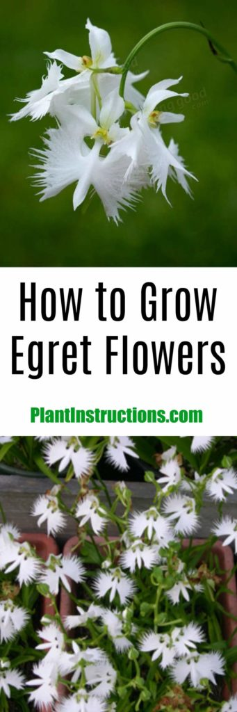 How to Grow Egret Flowers
