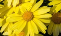 How to Grow Arnica Herbs