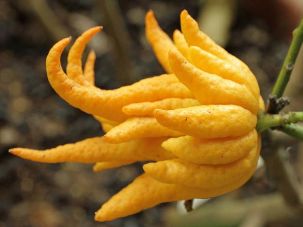 fingered citron tree