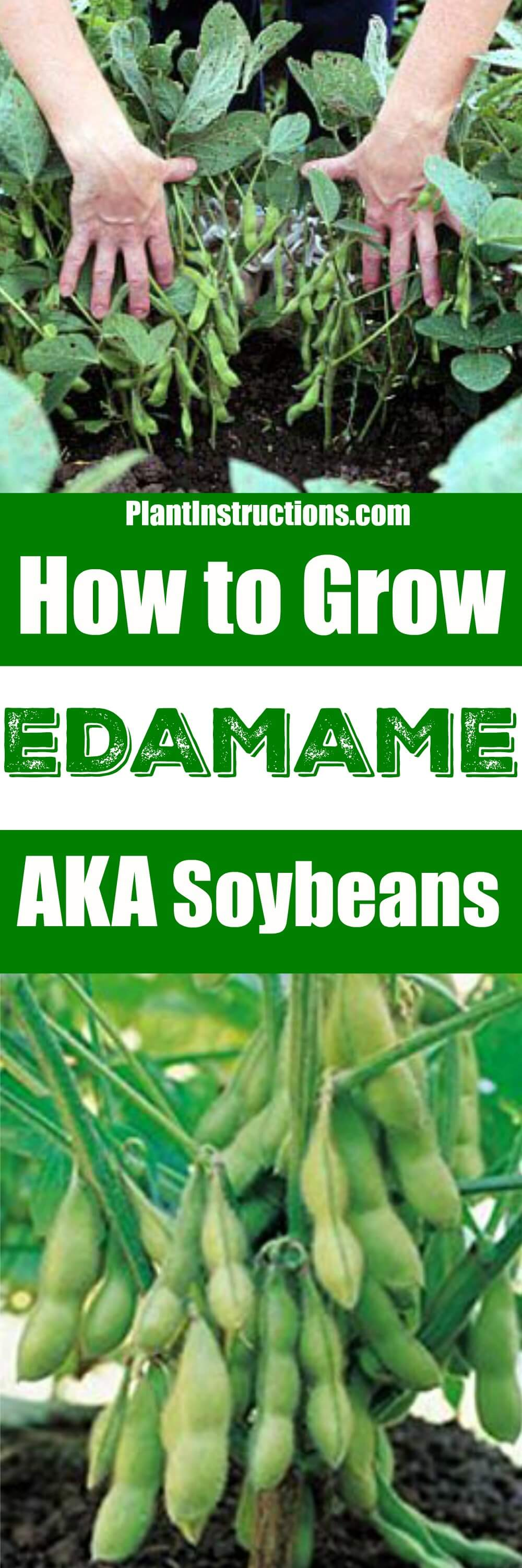 Edamame, or soybeans, are an ancient native crop from the Orient, and are surprisingly easy to grow! Learn how to grow edamame with our gardening guide!