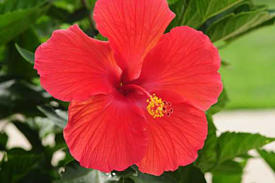 How to Grow Hibiscus