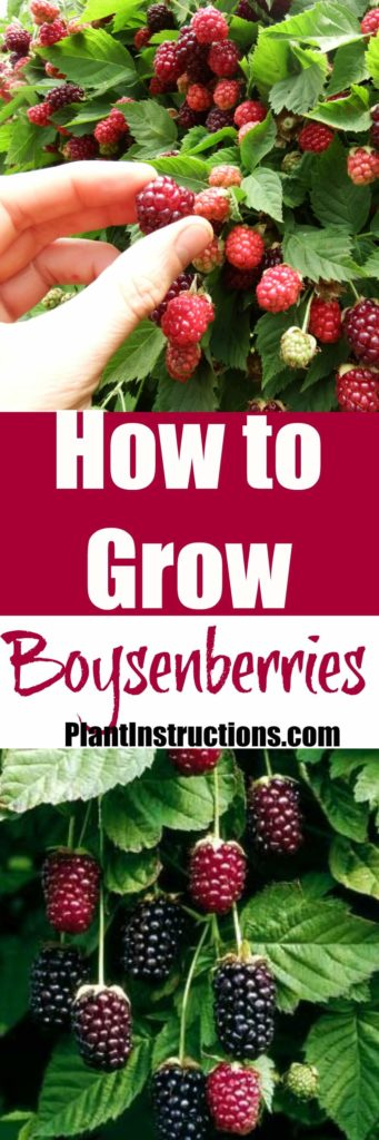 How to Grow Boysenberries