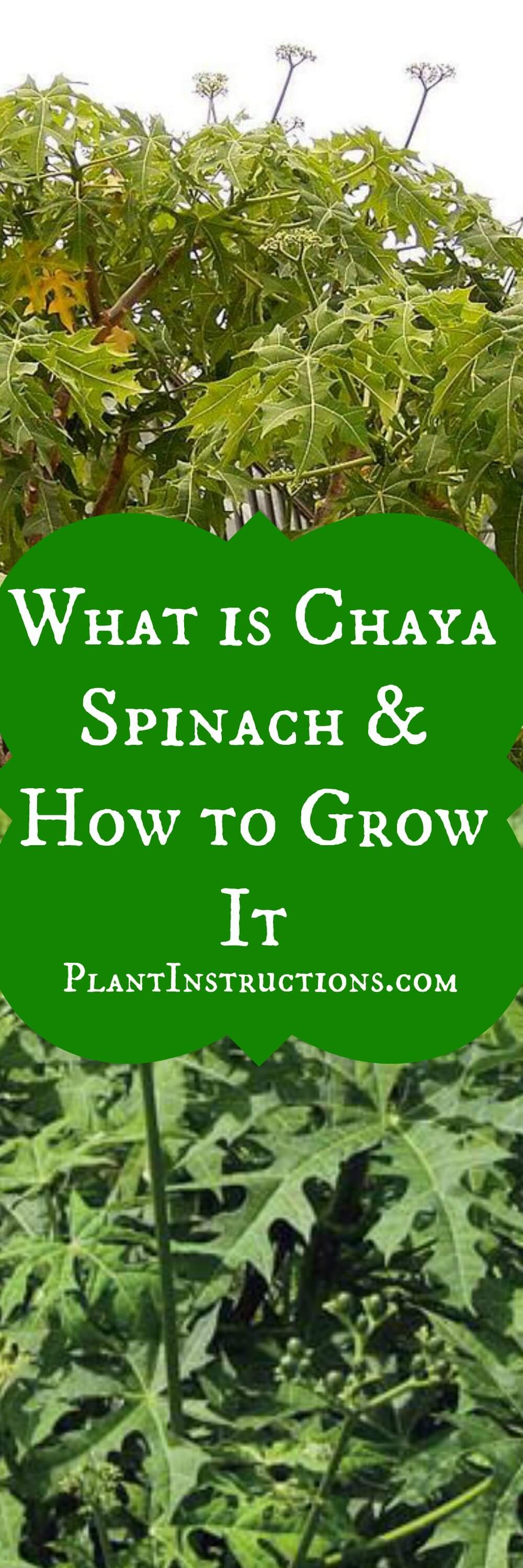 What is chaya plant and how do you grow it? A leafy green, the chaya plant, also kown as tree spinach, is very similar to leaf spinach!